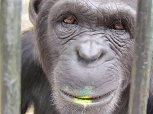 scimpanzéchedipinge