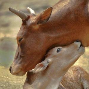 mucca e vitellino insieme