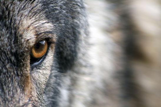 wolf-1352242_1920.jpg
